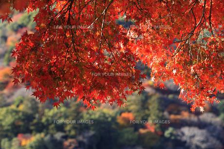 紅葉の嵐山の写真素材 [FYI00474573]