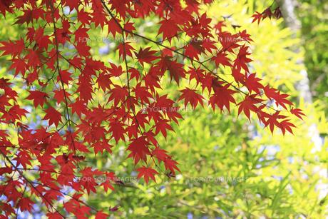 竹と紅葉の写真素材 [FYI00474575]