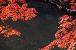 嵐山の紅葉の写真素材 [FYI00474578]