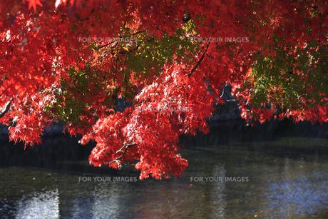 鴨川と紅葉の写真素材 [FYI00474582]