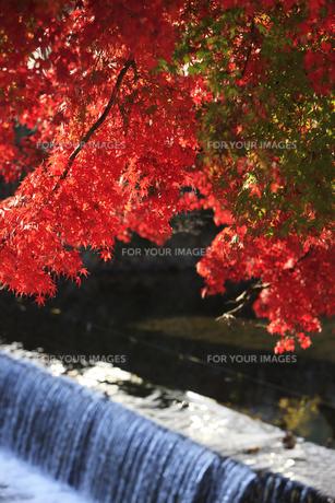 嵐山の紅葉の写真素材 [FYI00474583]