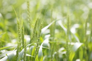 小麦の写真素材 [FYI00474623]