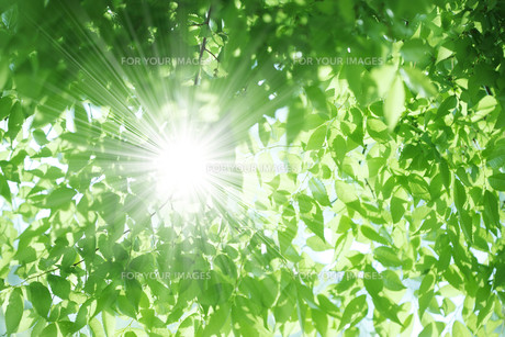 ケヤキの新緑の素材 [FYI00474625]