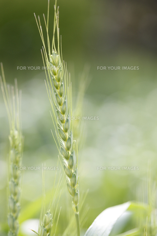 小麦の写真素材 [FYI00474629]