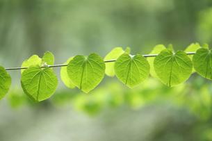 カツラの新緑の素材 [FYI00474637]