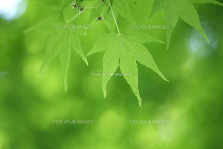 楓の新緑の写真素材 [FYI00474639]