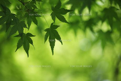 楓の新緑の写真素材 [FYI00474640]