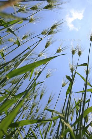 麦畑の写真素材 [FYI00474659]