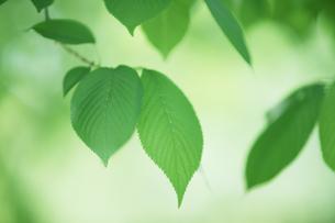 桜の新緑と木漏れ日の素材 [FYI00474675]