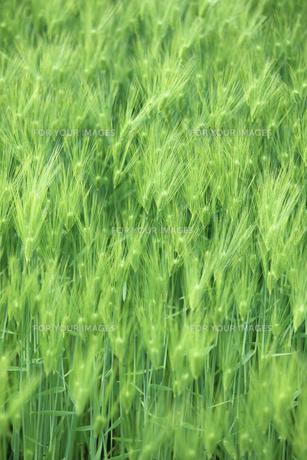 大麦畑の写真素材 [FYI00474680]