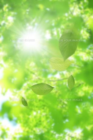 舞い散る新緑の葉の写真素材 [FYI00474698]