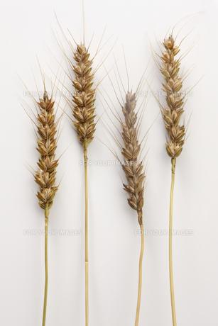 小麦の写真素材 [FYI00474700]