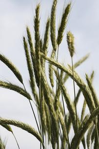 ライ麦の素材 [FYI00474702]