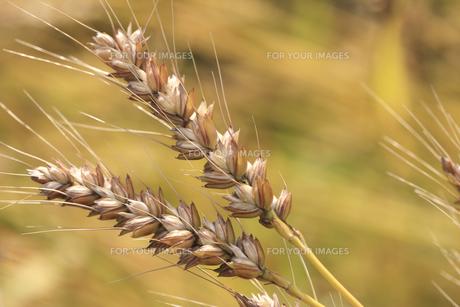 小麦の素材 [FYI00474707]