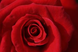 バラの花の素材 [FYI00474714]