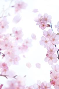 桜の素材 [FYI00474719]