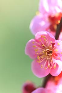 梅の写真素材 [FYI00474722]