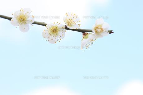 梅の写真素材 [FYI00474725]