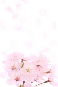 ソメイヨシノと花びらの素材 [FYI00474726]