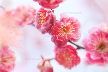 梅の写真素材 [FYI00474729]
