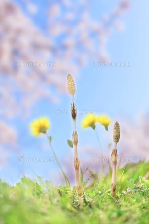 桜とつくしとタンポポの素材 [FYI00474733]