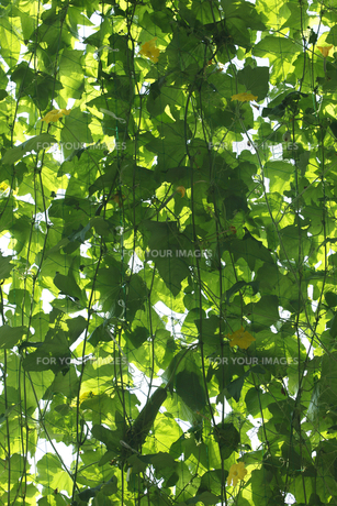 ヘチマの緑のカーテンの写真素材 [FYI00474739]