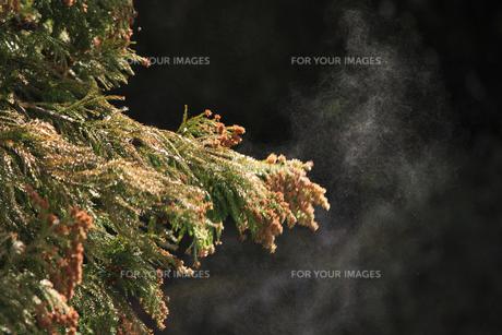 飛び散る杉の花粉の素材 [FYI00474741]