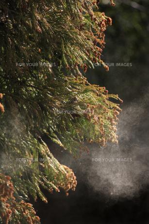 飛び散る杉の花粉の素材 [FYI00474750]