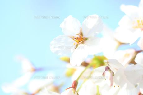 桜と青空の素材 [FYI00474752]