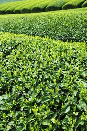 和束の茶畑の素材 [FYI00474757]