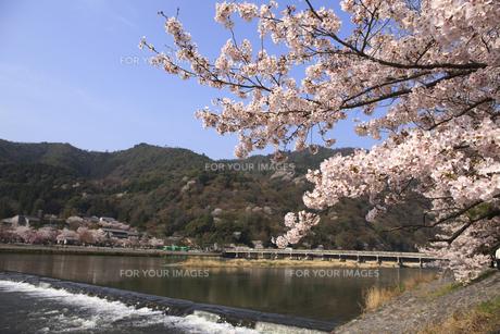 嵐山の渡月橋とソメイヨシノの写真素材 [FYI00474766]