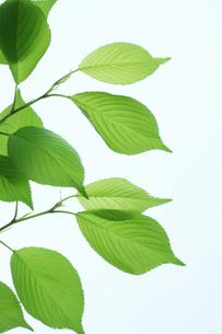 新緑の桜の葉の写真素材 [FYI00474775]