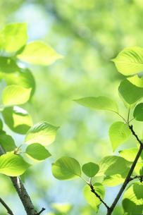 新緑の葉っぱの写真素材 [FYI00474776]
