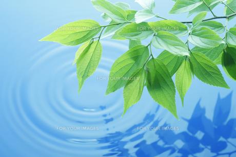 水面に写る葉っぱの素材 [FYI00474780]