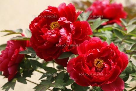 ボタンの花の写真素材 [FYI00474782]