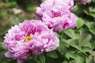 ボタンの花の写真素材 [FYI00474783]