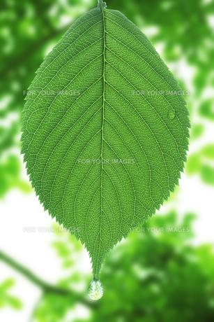 葉についた水滴の写真素材 [FYI00474789]