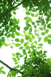 バラの新緑の写真素材 [FYI00474807]