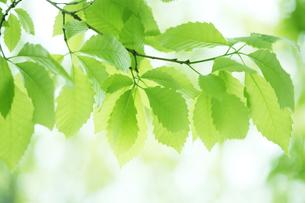 新緑の葉っぱの写真素材 [FYI00474811]