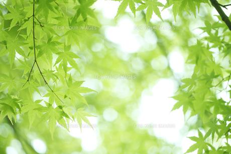 カエデの若葉の写真素材 [FYI00474816]