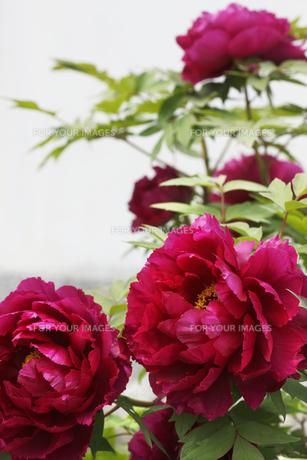 ボタンの花の写真素材 [FYI00474819]