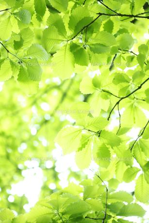 ブナの新緑の写真素材 [FYI00474820]