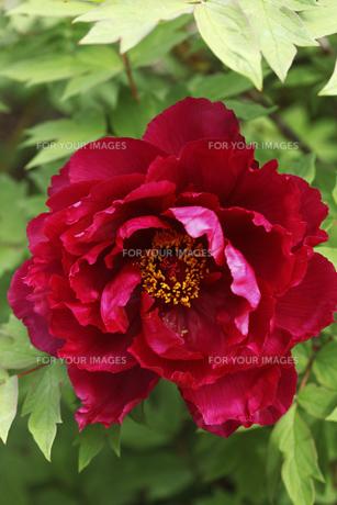 ボタンの花の写真素材 [FYI00474827]