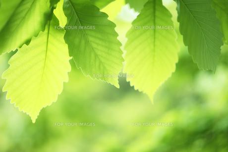 ブナの新緑の写真素材 [FYI00474828]