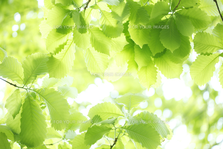 ブナの新緑の写真素材 [FYI00474829]