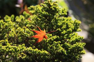 松の盆栽とモミジの写真素材 [FYI00474835]