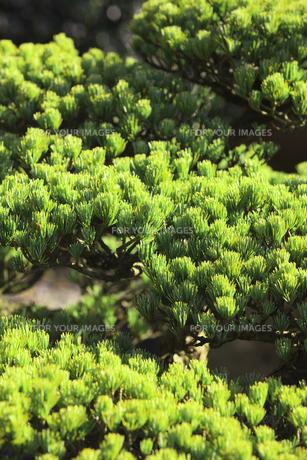 松の盆栽の写真素材 [FYI00474837]