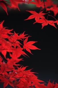 紅葉の素材 [FYI00474840]