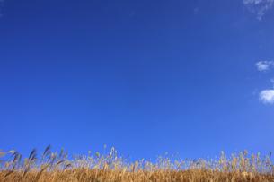 曽爾高原のススキと青空の写真素材 [FYI00474860]