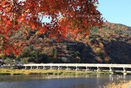 紅葉と渡月橋の写真素材 [FYI00474879]
